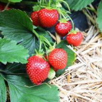 Erdbeeren Im Feld Mit Stroh