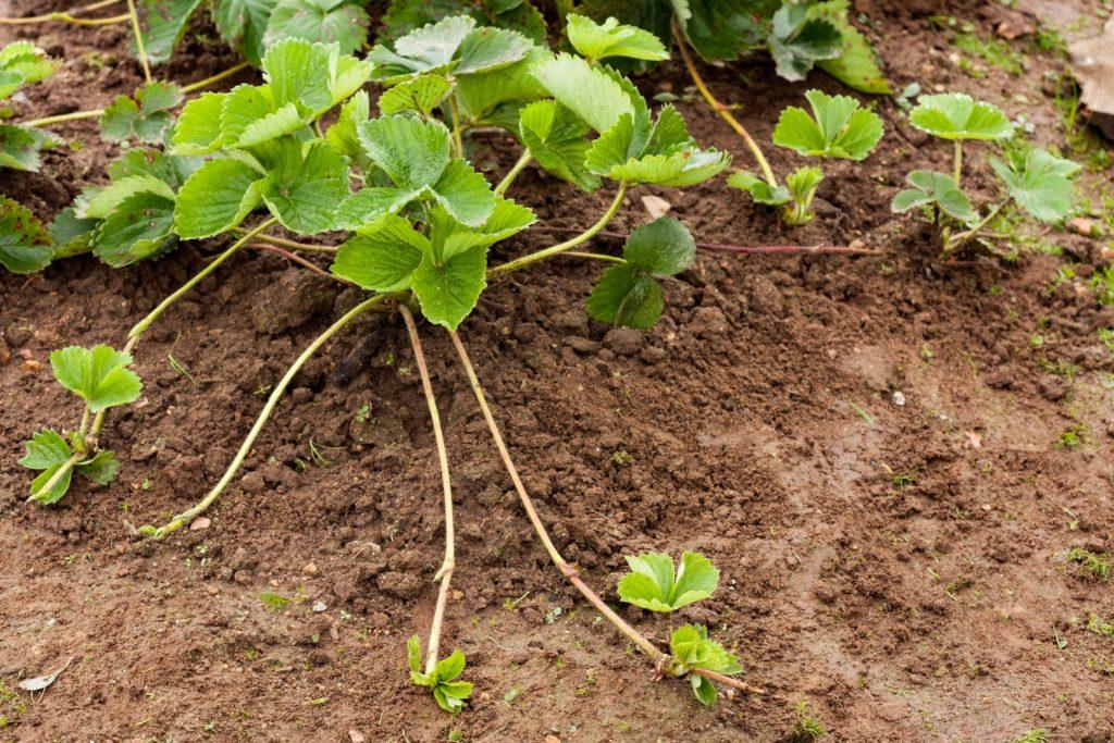 Erdbeerpflanze mit Ausläufern im Beet