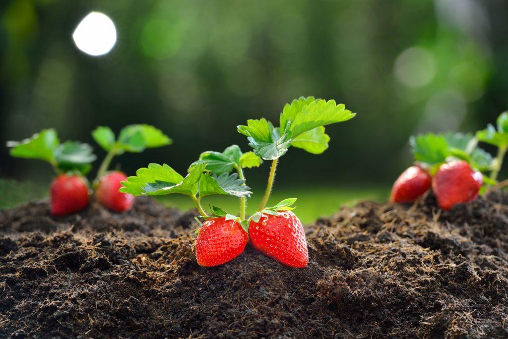Erdbeerpflanze in frischer Erde