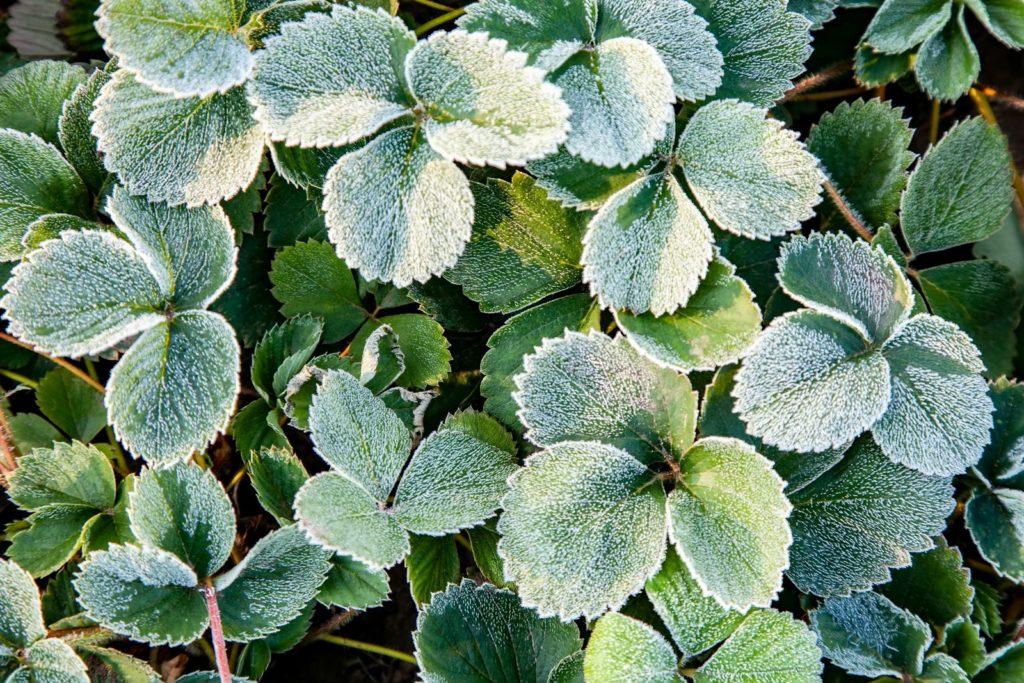 Erdbeerpflanze Frost Winter