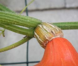 Für Die Ernte Muss Stängel Verholzt Sein