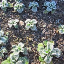 Feldsalat Im Winter Im Garten