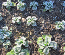 Feldsalat Im Winter 1
