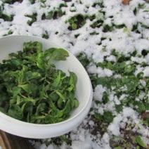Feldsalat Im Winter Ernten