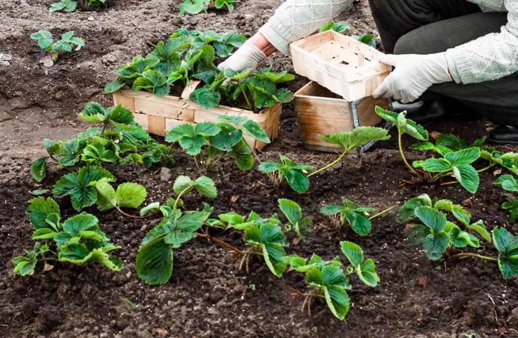 Frau pflanzt viele Erdbeerpflanzen in ein Beet