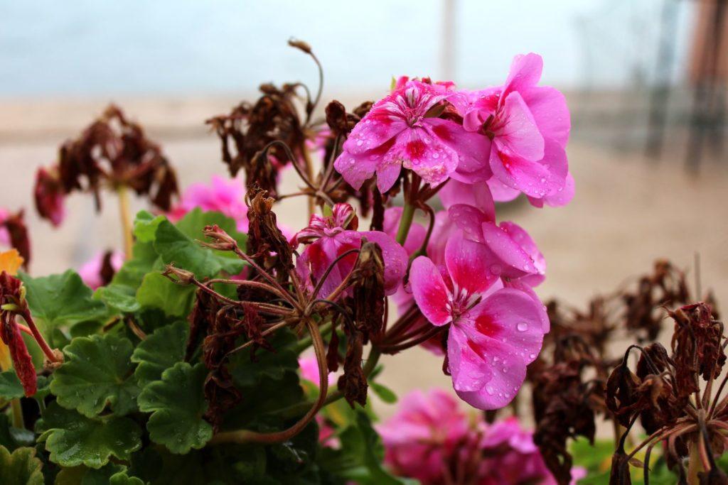 Geranie mit toten Blüten