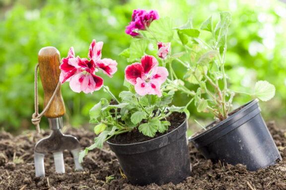 Geranien pflanzen: Standort, Pflanzzeit & Begleitpflanzen