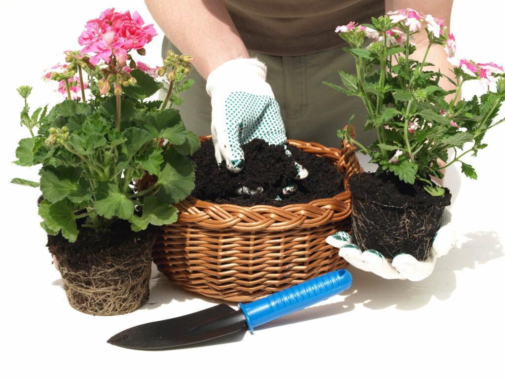 Geranie pflanzen in Korb