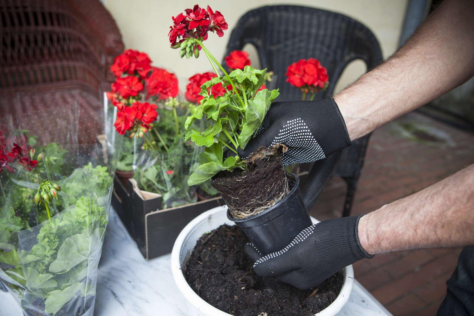 geranien vermehren stecklinge schneiden und samen s hen. Black Bedroom Furniture Sets. Home Design Ideas