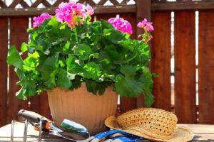 Geranie Pflanzen In Topf Mit Schaufel Handschuhen Hut