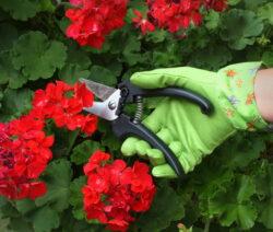Geranie Schneiden Mit Gartenschere