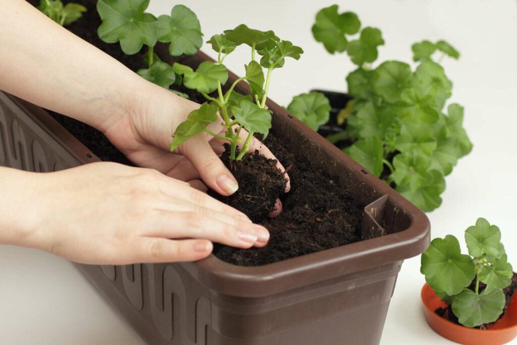 Geranien in Balkonkasten pflanzen