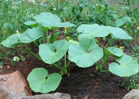 Gesunde Kürbispflanze Im Beet Garten