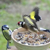 Goldfink Blaumeise Futterschale