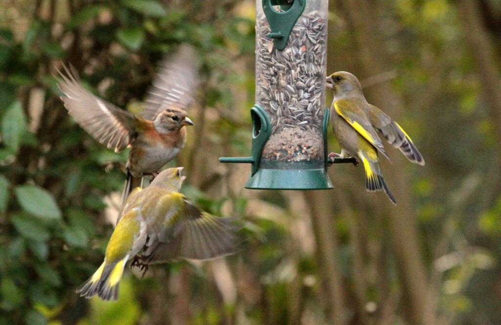Grünfinken an der Futterstelle