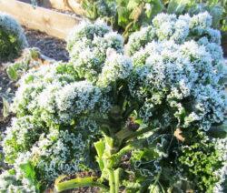 Grünkohl Winter Im Garten
