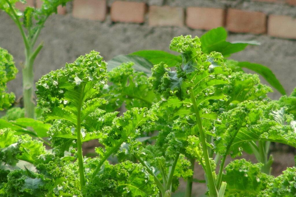 Grünkohl im Garten anbauen