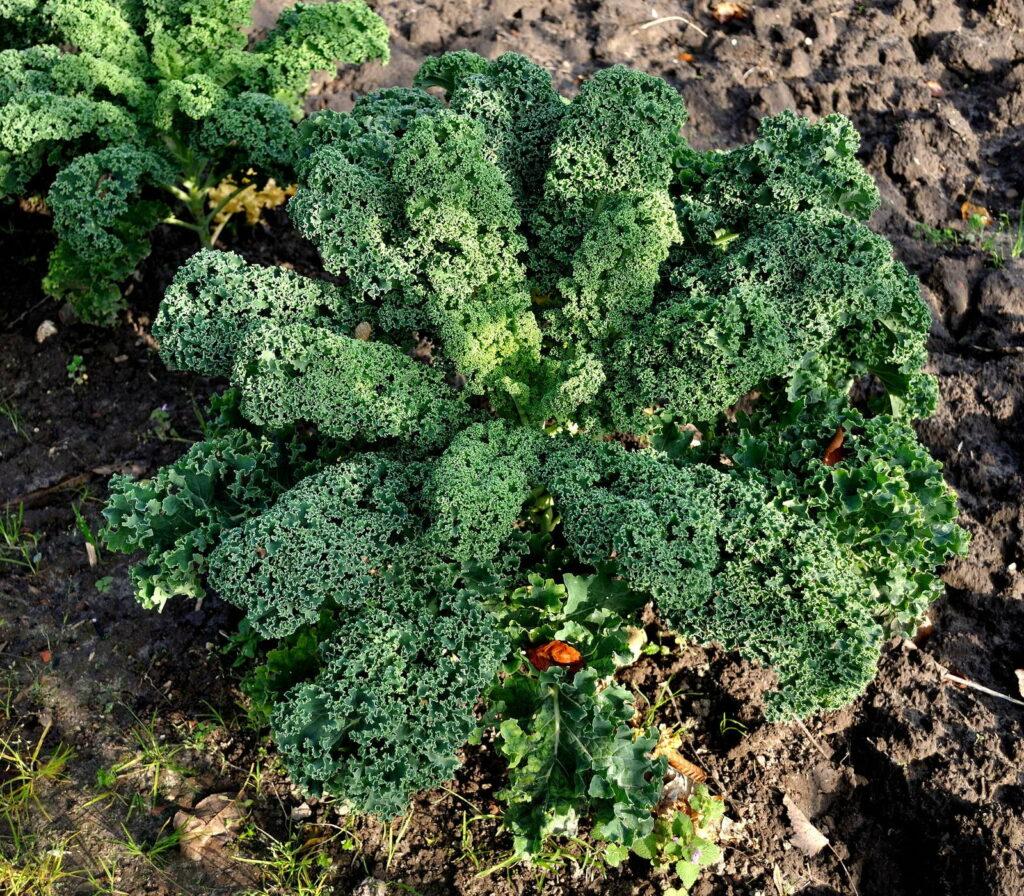 Grünkohl im Garten anbauen 2