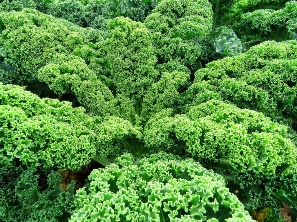 Grünkohl im Garten nahaufnahme