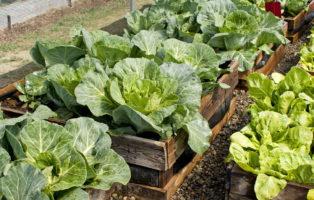 Hochbeet Bepflanzen: Pflanzplan, Mischkultur Und Gründüngung