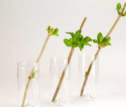 Hortensie Steckling In Glas Mit Wasser