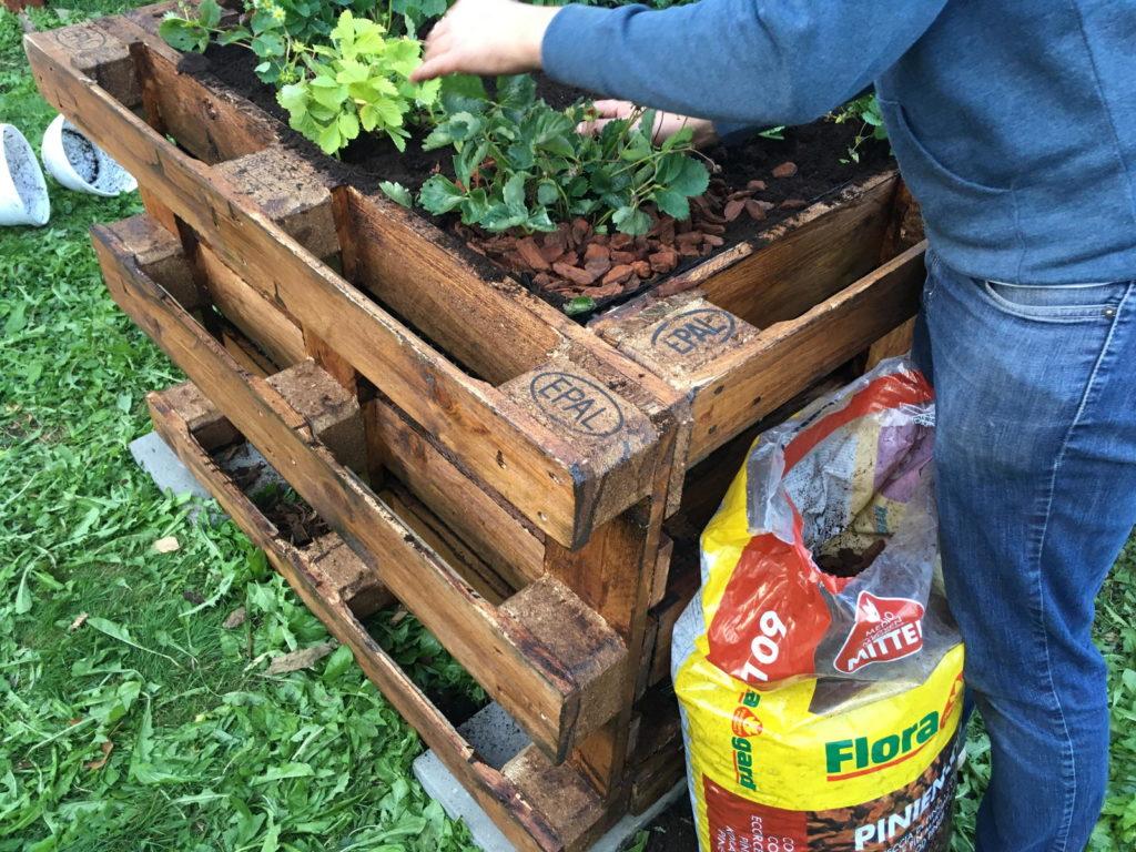 Hochbeet wird bepflanzt mit Erdbeeren