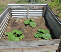 Jungpflanzen Kürbis Wachsen Auf Dem Kompost