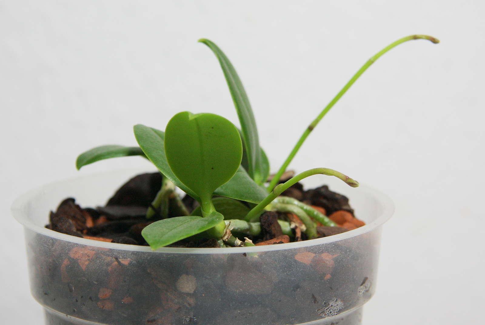 stecklinge vegetative vermehrung optimale bedingungen. Black Bedroom Furniture Sets. Home Design Ideas