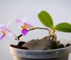 Orchidee Vermehren 1