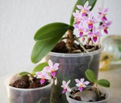 Orchidee Vermehren Kindel Ableger