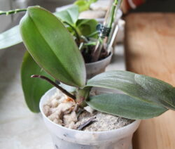 Phalaenopsis Kindel Orchdeen Vermehren
