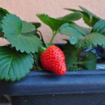 Reife Erdbeere Im Balkonkasten