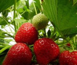 Reife Erdbeeren Im Feld