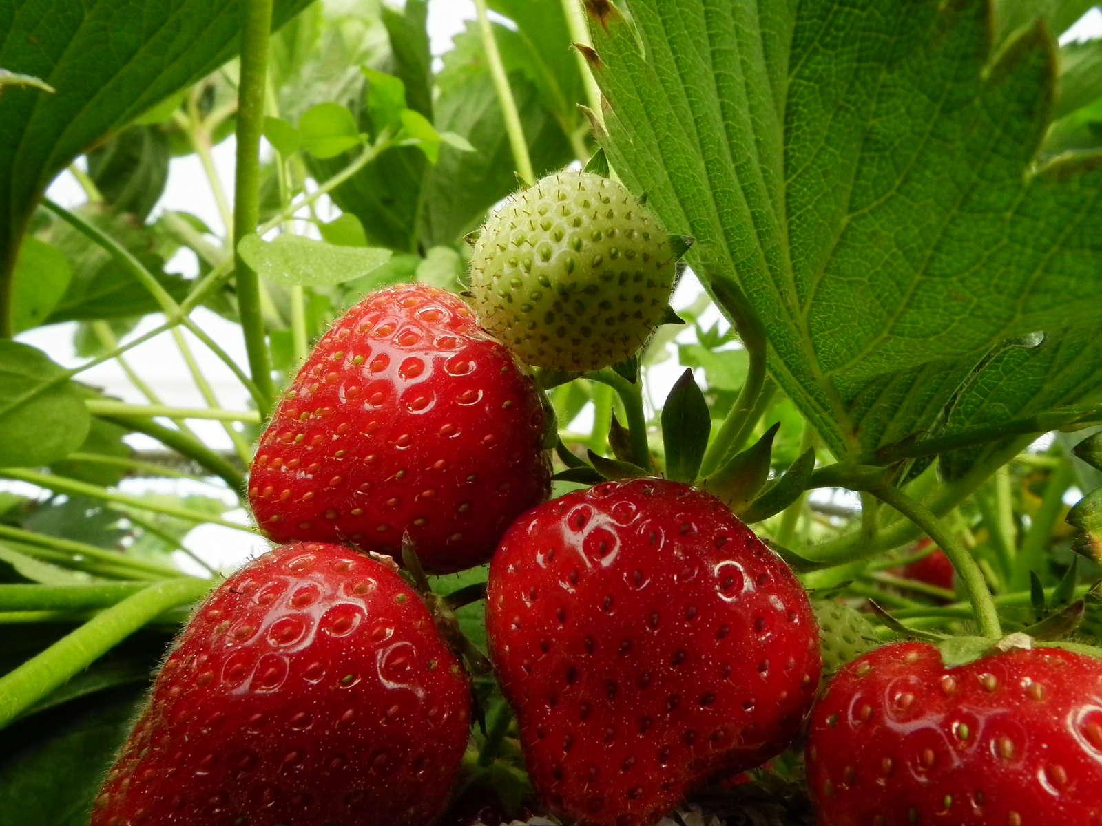 Erdbeersorten Robuste Immertragende Frühreife übersicht Plantura