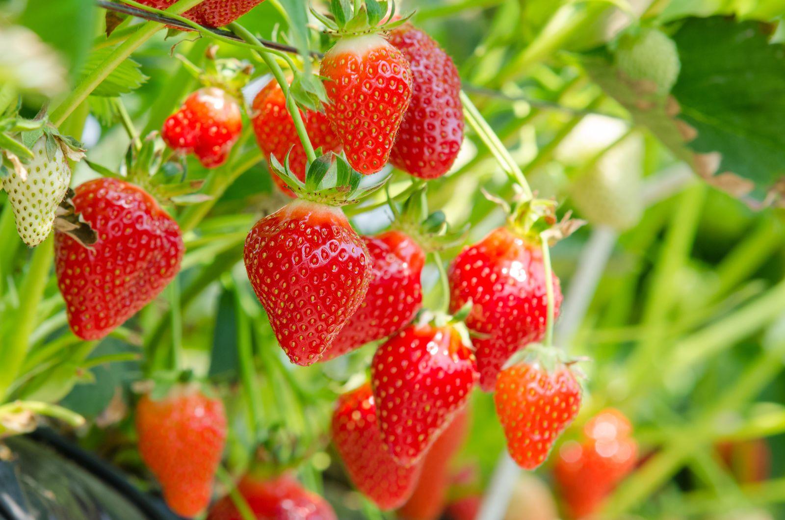 Etwas Neues genug Erdbeersorten: Robuste, immertragende & frühreife (Übersicht @NS_68