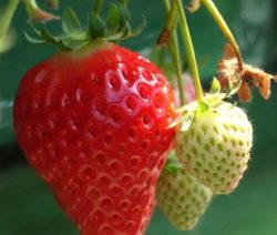 Reife Und Unreife Erdbeeren 2