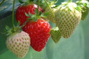 Reife Und Unreife Erdbeeren