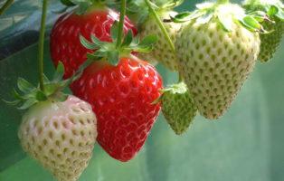 Erdbeersorten: Robuste, Immertragende & Frühreife (Übersicht)