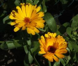 Ringelblume Gelb Im Garten