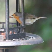 Rotkehlchen Im Vogelhaus