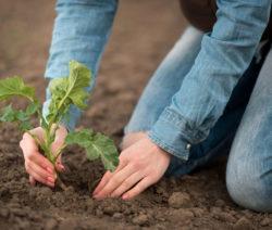 Steckling Pflanzen Mit Händen In Erde