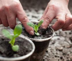 Steckling Pflanzen In Anzuchttopf Mit Händen