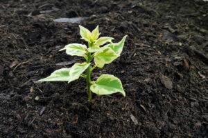 Steckling Pflanzen In Erde