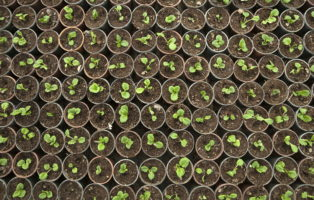 buchsbaum schneiden zeitpunkt hilfsmittel formen plantura. Black Bedroom Furniture Sets. Home Design Ideas