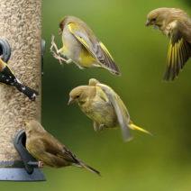 Vögel An Futtersäule Mit Sonnenblumenkernen