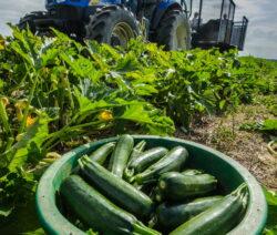 Zucchini Ernten Feld Mit Traktor