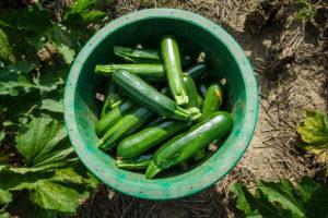 Zucchini Ernten In Korb Auf Feld