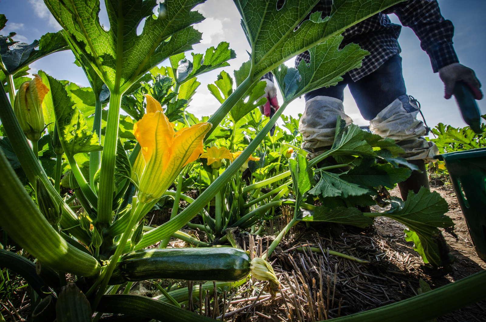 zucchini pflanzen und erfolgreich anbauen plantura. Black Bedroom Furniture Sets. Home Design Ideas
