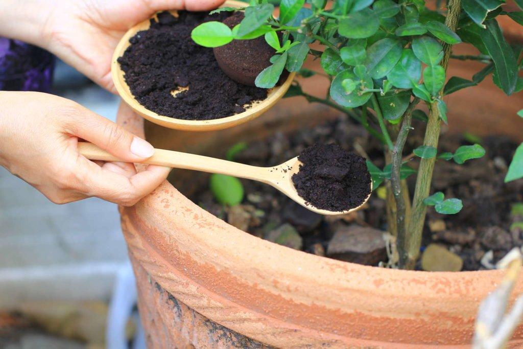 Pflanze wird mit Kaffeesatz gedüngt