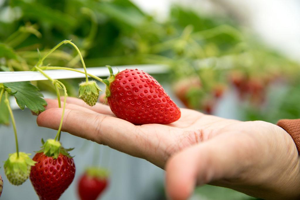 Erdbeersorte Sweet Mary XXL